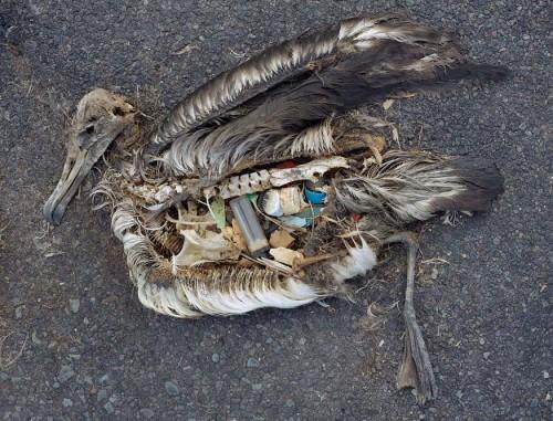 Des millions d'oiseaux meurent l'estomac saturé de plastique, qu'ils prennent pour de la nourriture. Image tirée du très beau documentaire de Chris Jordan: Midway.