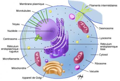 cellule-shema