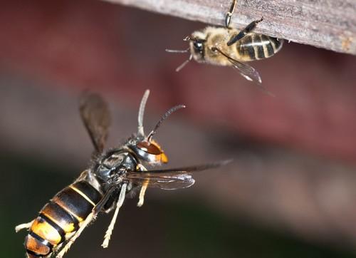 Une abeille ne fait clairement pas le poids... (Icko Apiculture)