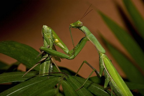 Le cannibalisme sexuel existe aussi chez les insectes, comme la mante religieuse (a priori, pas chez l'Homme).